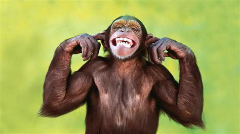 Funny Chimpanzee Wallpaper Wallpapersafari