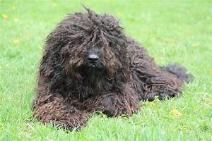 Barbet - French water dog - Dogs breeds | Pets