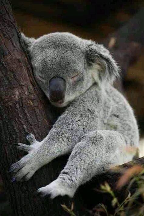 koala asleep  hugging tree luvbat