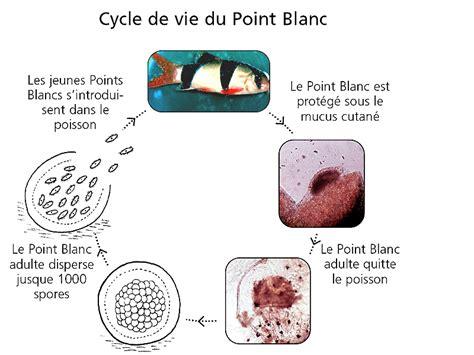 cycle de l eau aquarium sant 233 la maladie des points blancs ou ichthyophthirius multifiliis chez les poissons d eau