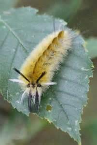 Poisonous Caterpillars North America