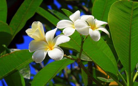 Free Tropical Flowers Wallpaper Hd Desktop Wallpapers