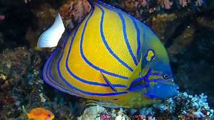 Annularis Angelfish - Angelfish Large