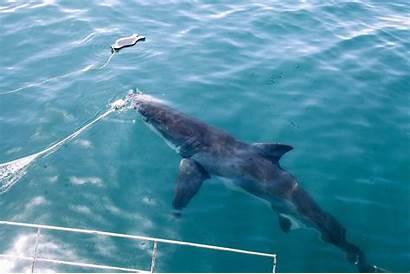 Sharks Diving Shark Water Jaws Jumps Baring