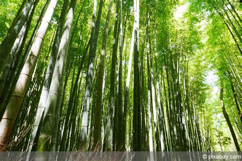 Riesenbambus Im Garten Ziehen