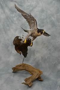 Peregrine Falcon Taxidermy Flying - UK Bird Small Mammal ...  Falcon