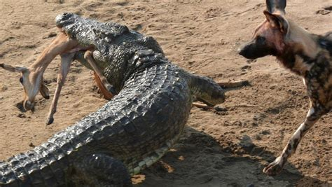 Nile Crocodile Kills