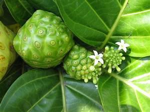 File:Noni fruits and flowers (Morinda citrifolia).JPG - Wikimedia Commons Morinda