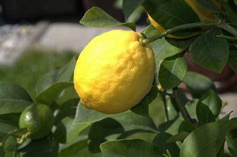 faire pousser un citronnier chez soi on vous dit tout