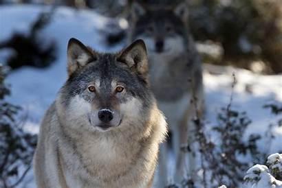 Wolf Face Dog Predator Nature Macro Wallpapers