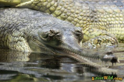 gharial facts  kids adults pictures information video