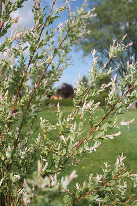 saule crevette en pot 25 beste idee 235 n saule crevette op salix bloeiende struiken en arbuste 224