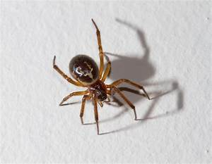 False widow spider: Eight reasons not to be scared | Metro ...