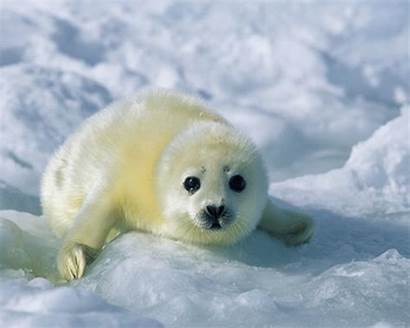 Seal Seals Harp Desktop Wallpapers Wallpapersafari Navy