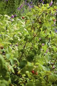 Companion Planting With Raspberries  Good Companion Plants