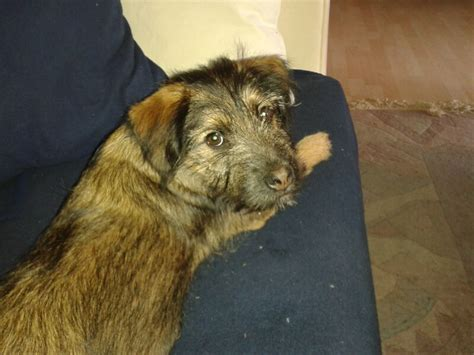 border terrier mischling mix