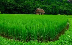 The rice field / 1920 x 1200 / Other / Photography ...