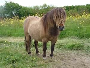 Dun shetland pony