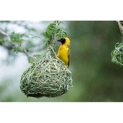 File:Southern Masked Weaver.jpg - Wikimedia Commons