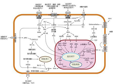 filesignal transduction pathways zh cnsvg wikimedia