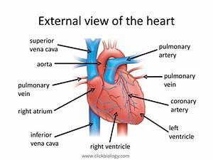 Heart Structure And Function
