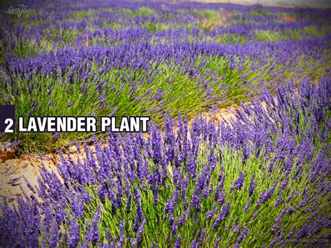 when do you plant lavender 5 plants for your bedroom to help you sleep better