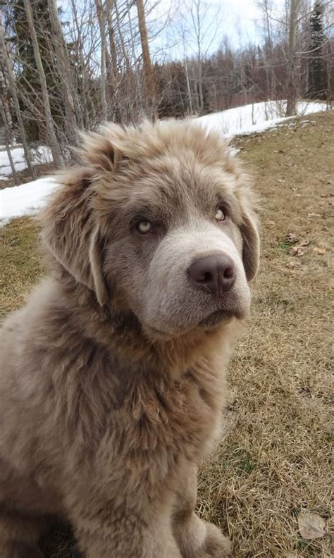 Rare Grey Coated Newfoundland Dog Dogs Newfie Love