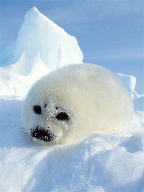 baby seal wallpaper wallpapersafari