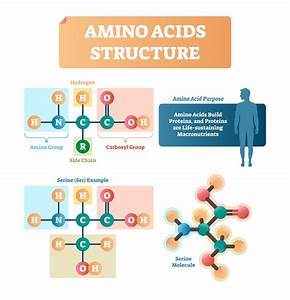 Amino Acids Structure Vector Illustration  Labeled Example