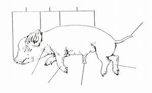 Fetal Pig Dissection Worksheet