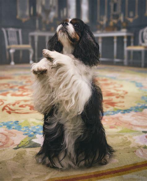 victorias dog dash  plenty  royal pedigree