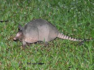 The gallery for --> Baby Nine Banded Armadillo