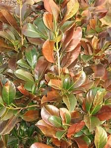 Kirschlorbeer Braune Blätter : haben die frostgesch digten noch eine chance mein ~ Lizthompson.info Haus und Dekorationen