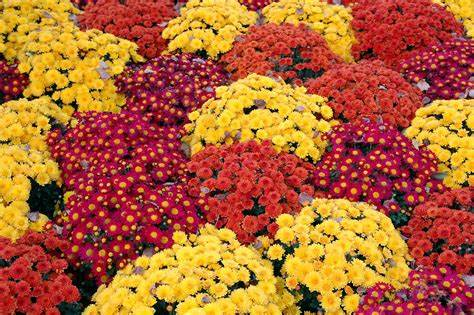 Mums 101: Everything you need to know about fall's ...