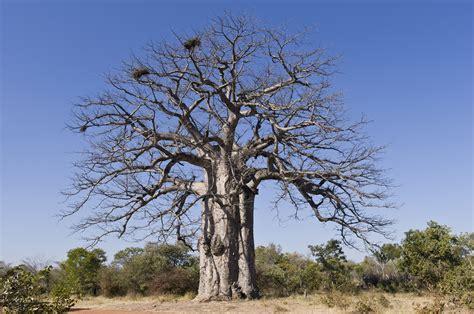 File:Imbondeiro Tree.jpg - Wikimedia Commons
