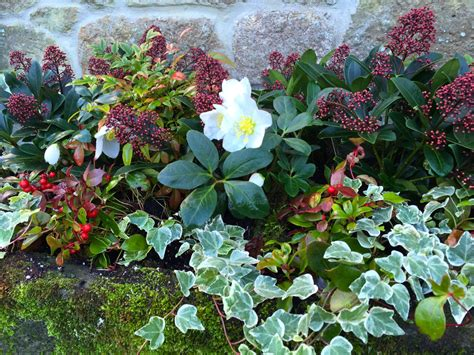 planting winter flowers planting containers for winter colour the frustrated gardener