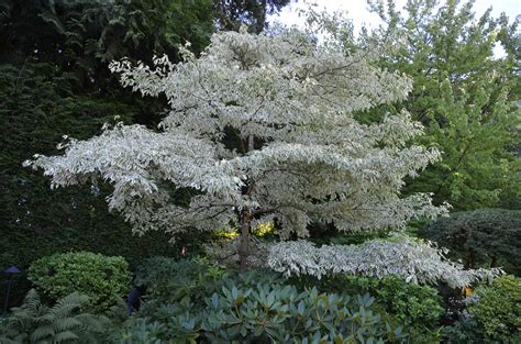 Chinese Gardener by Beautiful Giant Dogwood Has Some Limitations What Grows