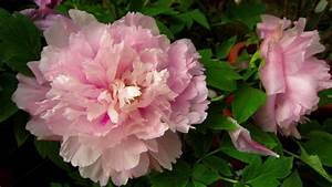 Peony Flower Wallpapers