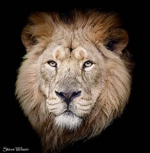 Face to Face | Male Asiatic Lion at Chester Zoo | Steve ...