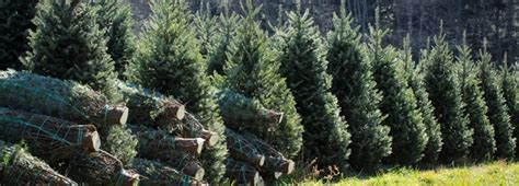 fake christmas trees for sale near me your guide to evergreen trees