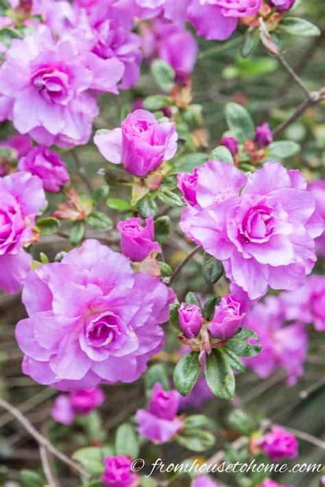 azalea  rhododendron varieties
