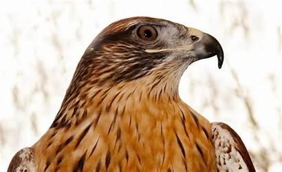Hawk Computer Theme Wallpapers Animal Birds Prey