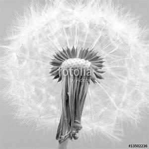 Bild Pusteblume Schwarz Weiß : pusteblume schwarz wei stockfotos und lizenzfreie bilder auf bild 13502236 ~ Bigdaddyawards.com Haus und Dekorationen