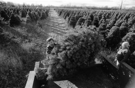 self cut christmas trees at boughans tree farm november