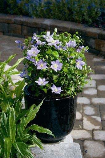 can i plant clematis in a pot clematis care growing clematis in garden pots and planters