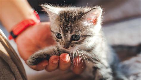 La Casa Cucciolo by Adottare Un Gatto Cucciolo Come Accogliere Un Gattino In