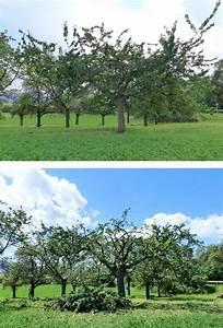 Kirschbaum Richtig Schneiden : kirschbaum schneiden obstbaumschnittschule ~ Lizthompson.info Haus und Dekorationen