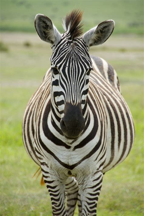 Zebra Face Front Wwwpixsharkcom Images Galleries