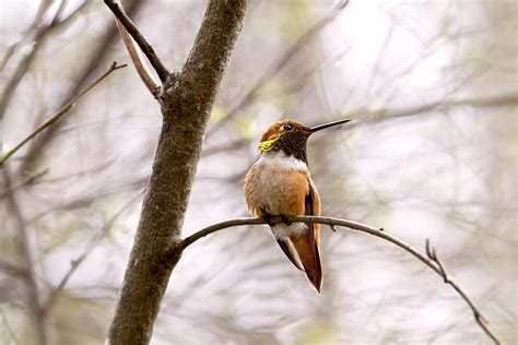 regal rufous hummingbird sitting photograph by peggy collins