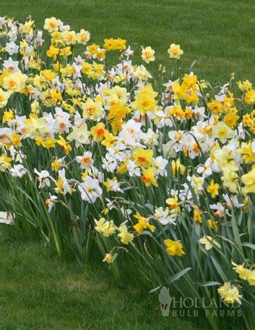 wholesale daffodils 600 mixed bulk daffodil bulbs